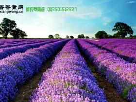 薰衣草精油——Lavender不可方物的香草美人!